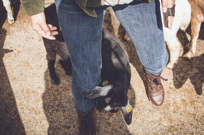 goats chew petting grant's farm animals