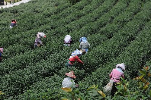茶鄉之旅:嘉義隙頂茶園風光、二延平步道(10.1ys)