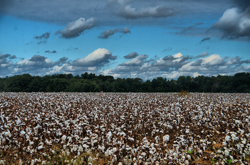 Cotton Above and Below
