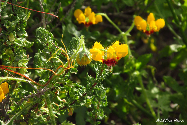 Ortiga Caballuna (Loasa tricolor) - Desierto Florido Costero