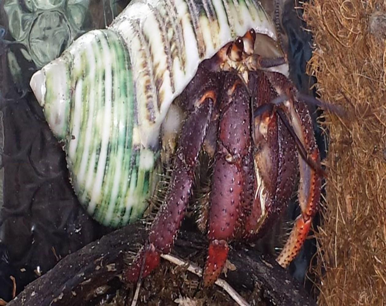 Lulu - December 2015 Calender Crab Entry