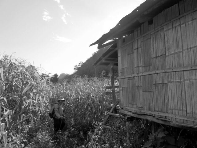 Walking through the corn field