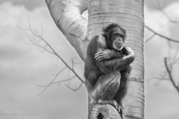 Chimp in a Tree