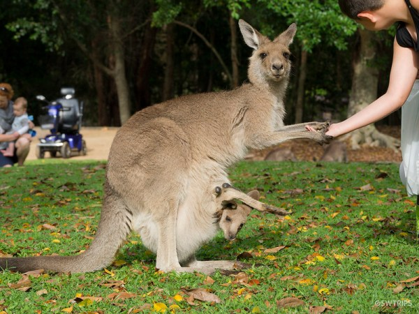 Kangaroo, Australian Zoo