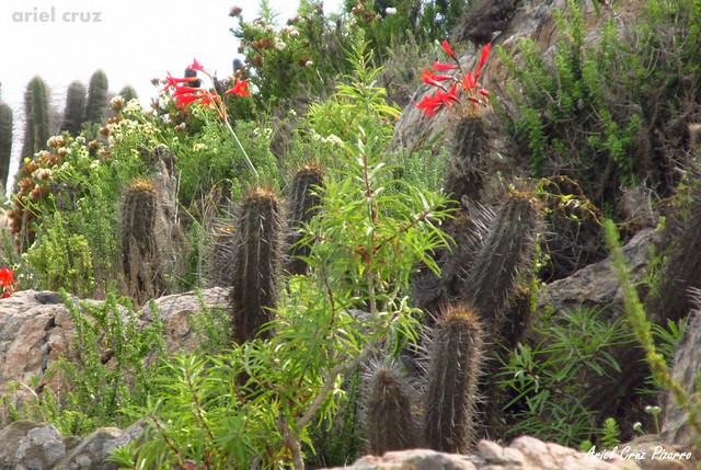 Añañuca de Fuego (Phycella ignis) - Desierto Florido Costero