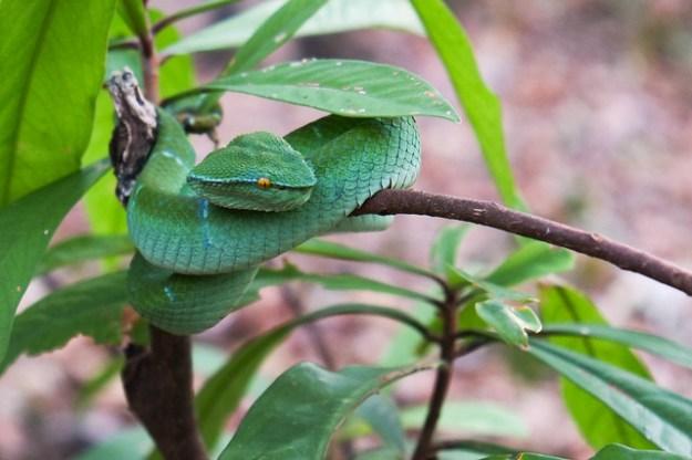 Green viper. Tangkoko