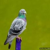 8, Rock Pigeon or Rock Dove (Columba livia)_DSC8144-3