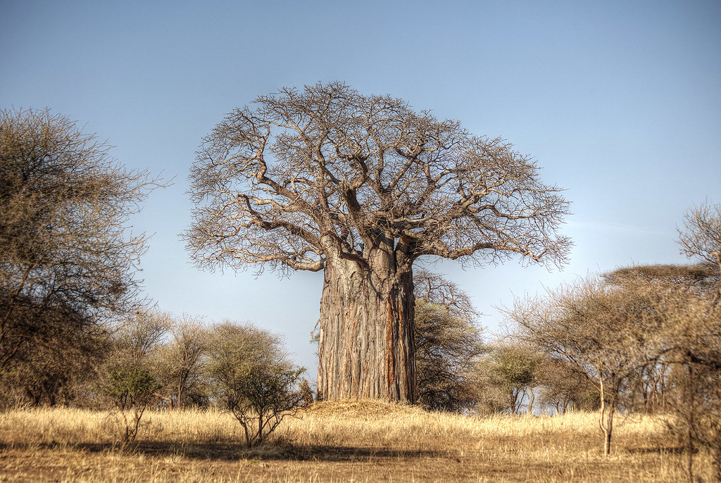 A colossal baobab tree.