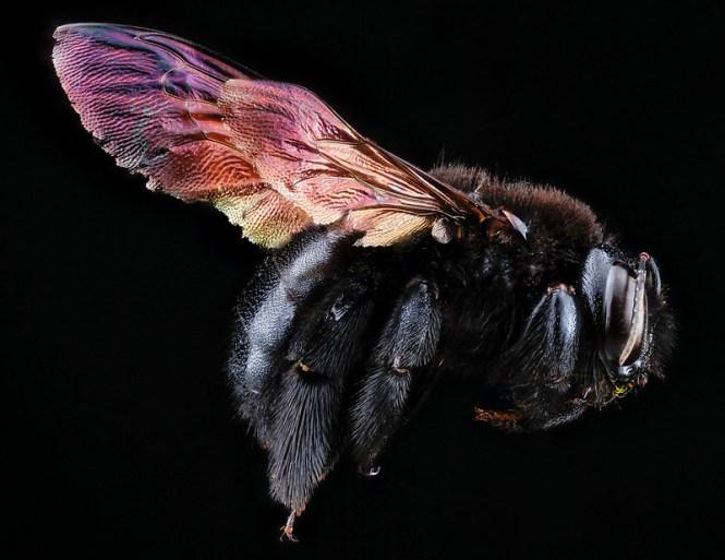 1-carpenter-bee-1600