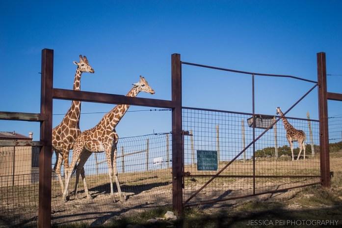Fossil Rim Wildlife Center Giraffes