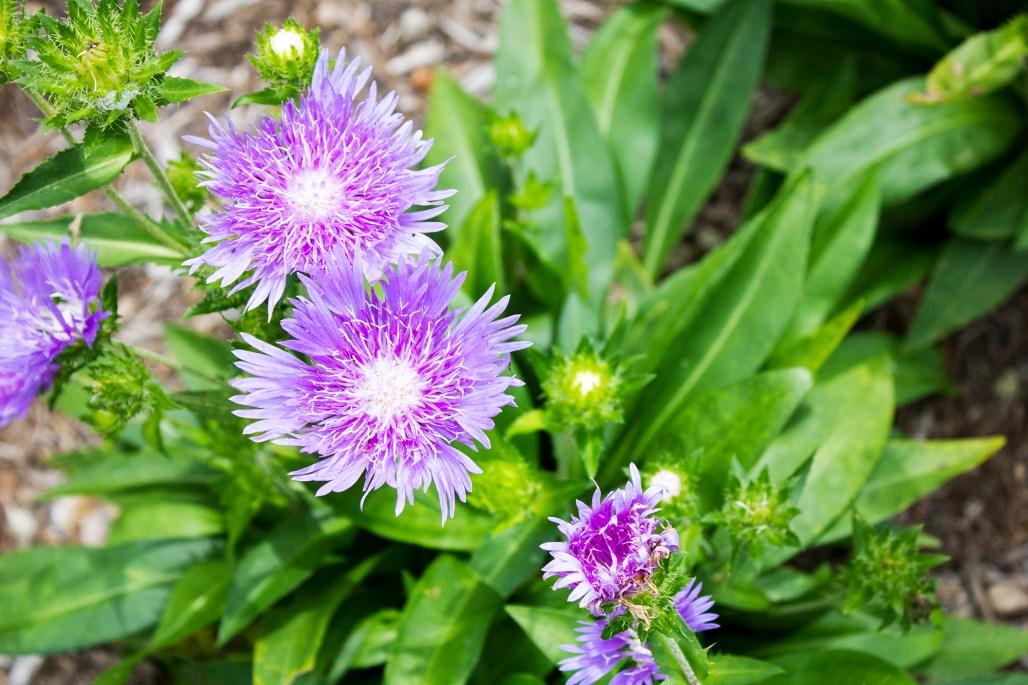 mt-cuba-gardens-delaware-purple-flowers