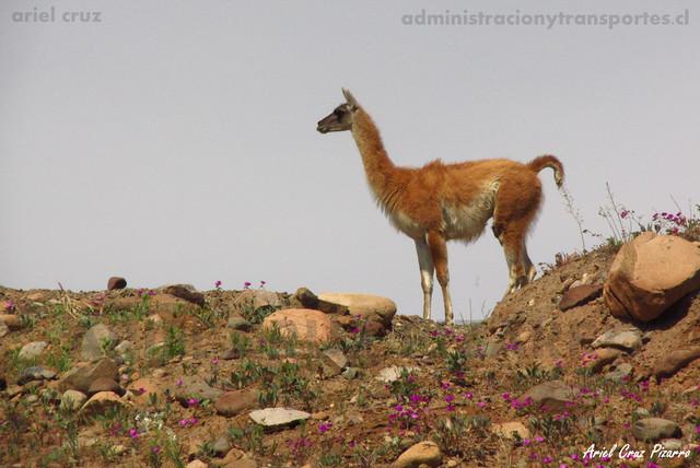 Guanaco (Lama guanicoe) & Pata de guanaco (Cistanthe longiscapa) - Desierto Florido