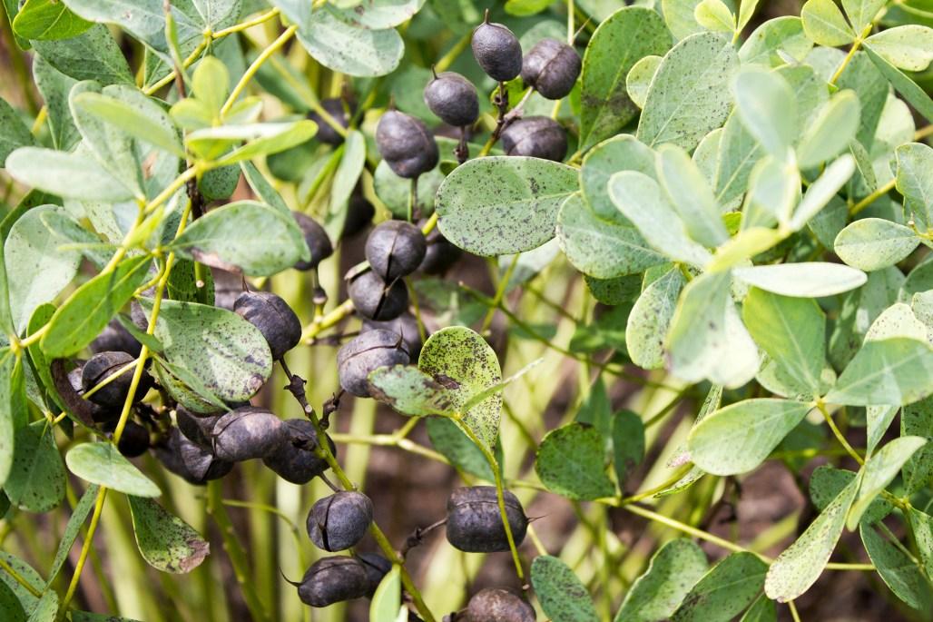 mt-cuba-gardens-delaware-cocoa-bells