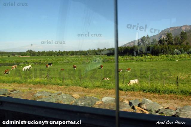 Vacas en el campo - BZXP79