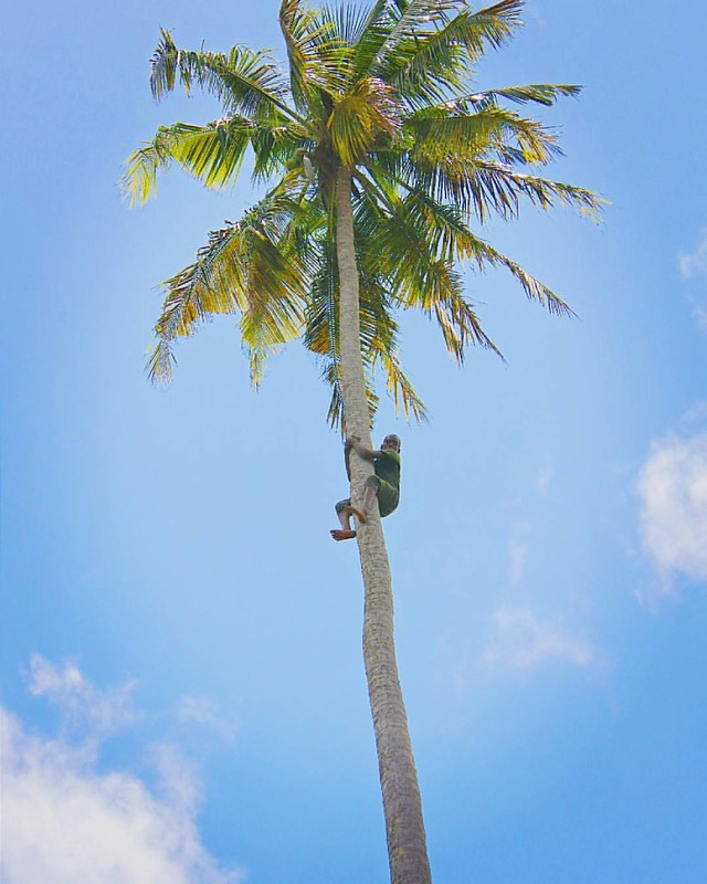 """🌴""""How do I get down from here?""""🌴  Abdul has been climbing coconut trees his entire childhood, so getting down from here wasn't a problem. This 10 year old kid effortlessly climbed all the way up, twisted off & dropped the coconuts and"""