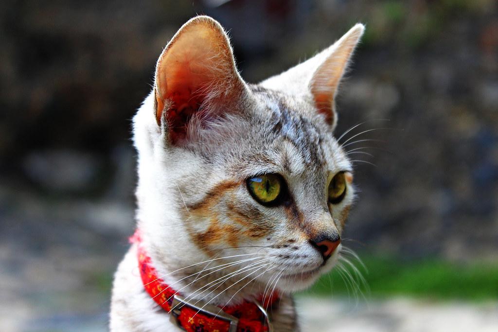 Imagen gratis de un gato gris en primer plano