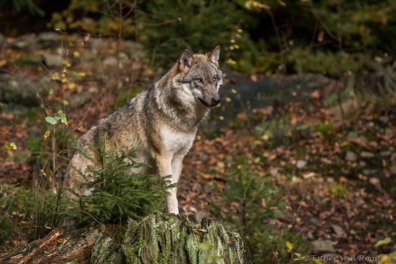 Wolf01-7735