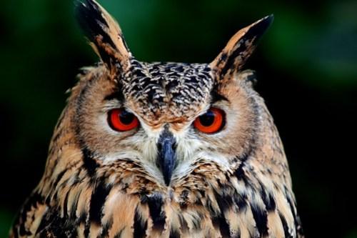 rock-eagle-owl_181116