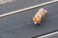 West #Kilburn foxes
