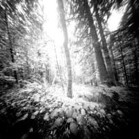 Trillium Lake Trees
