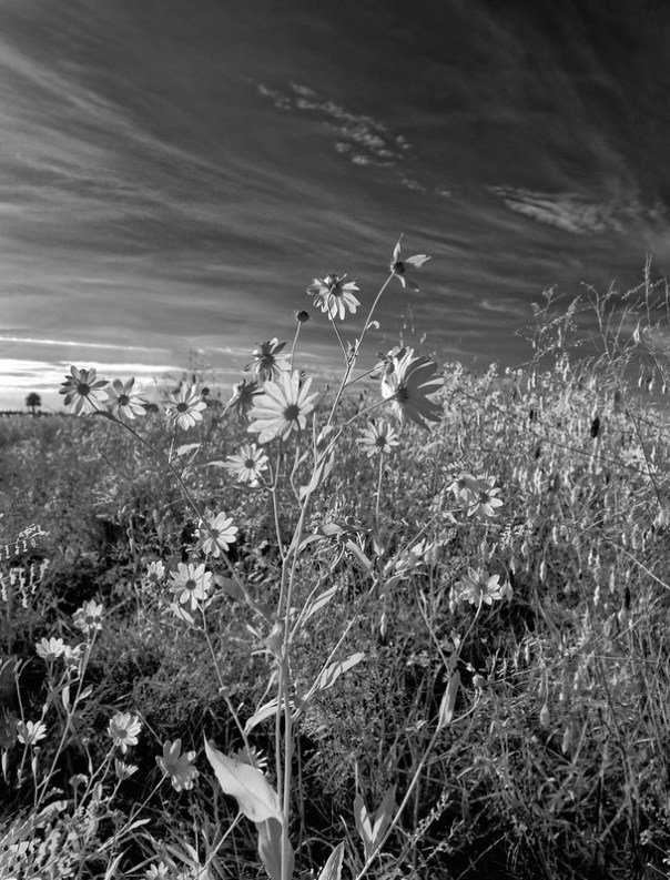 Lake Jesup Sunflowers