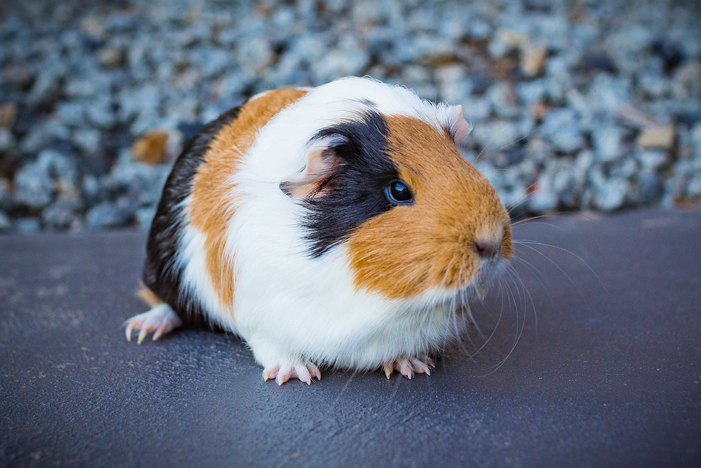 Kate the Guinea Pig