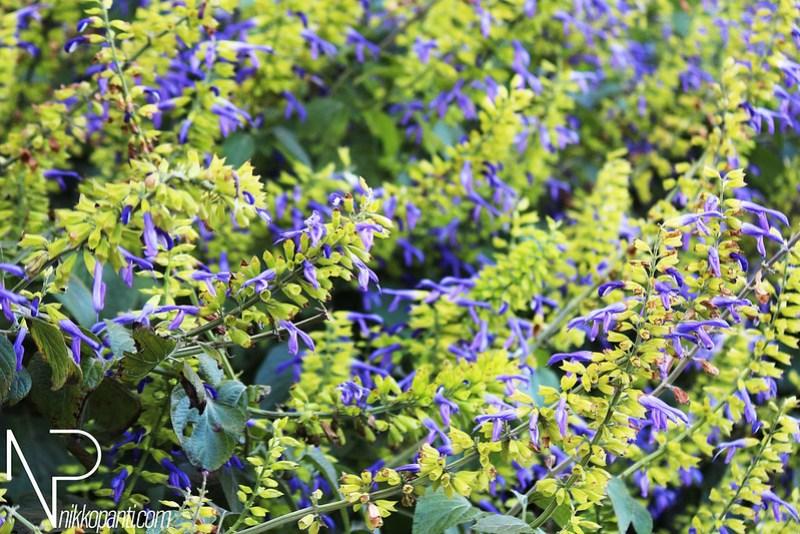 Flowers Nikko Panti Misterbaks
