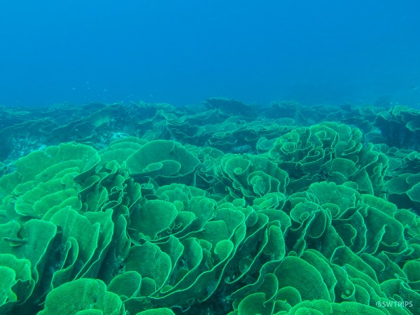 Cabbage Patch, Rainbow Reef, Fiji
