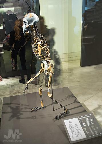 Museo Arqueologico Nacional - Australopithecus afarensis