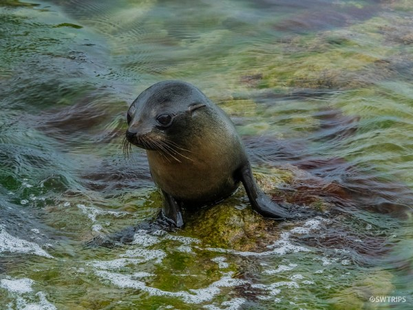 Sea Lion, Kaikoura Peninsula