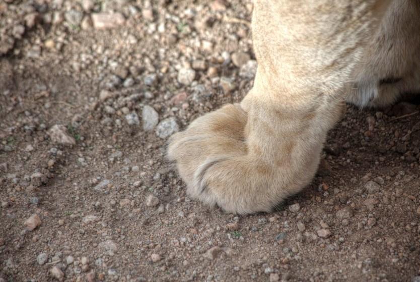 Lioness paw