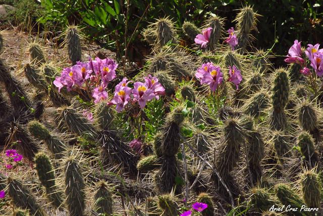Lirio de Campo (Alstroemeria philippi) - Desierto Florido