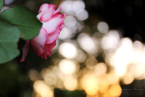 秋薔薇と朝焼け 20151025-IMG_9985_1