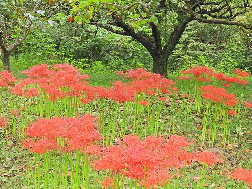 Cluster Amaryllis(called as 'Higanbana, Manjushage), Isehara, Japan