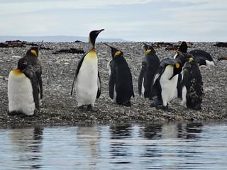 Parque Pinguino Rey, Chile