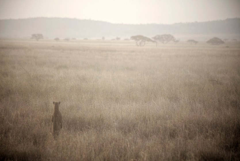 A Leopard taking a peek in Serengeti National Park