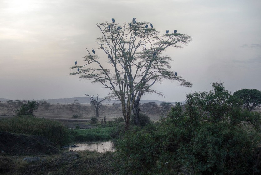 The tree of storks