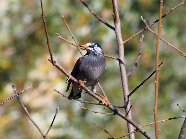 White-cheeked Starling (ムクドリ)