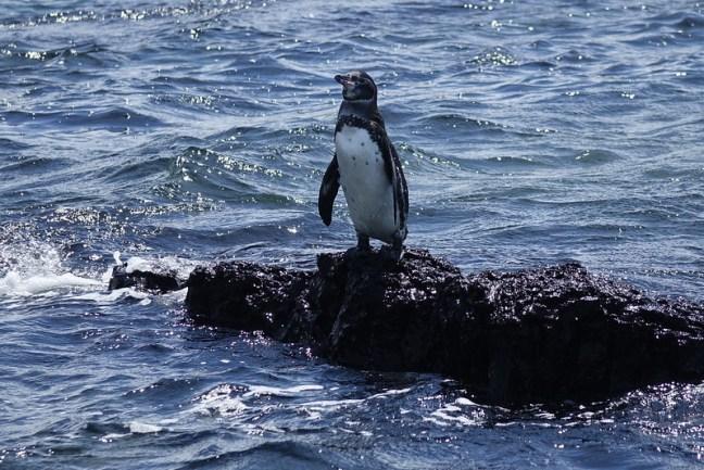 Galapagos penguin, Puerto Villamil, Isabela, Galapagos