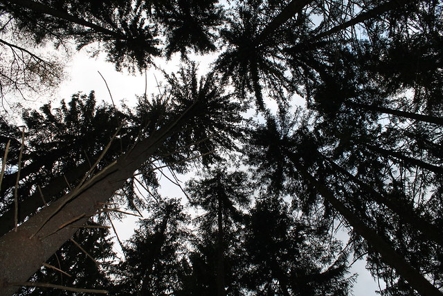 forest looking up at pine trees chamonix