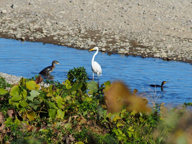 Great egret (ダイサギ) and common cormorants (カワウ)