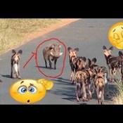 الخنزير في مواجهة النمر والكلاب البرية - Wild Boar Attacks Wild Dogs