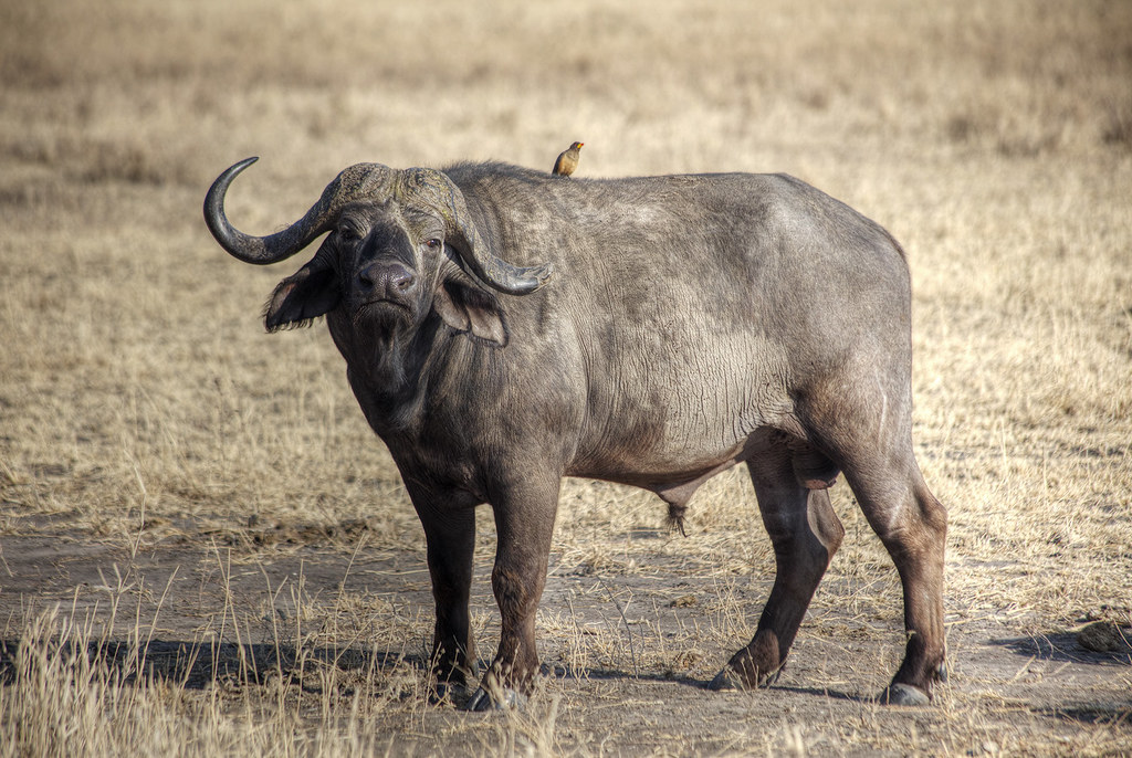A water buffalo and his bug cleaner