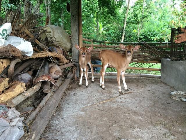 Twin calves