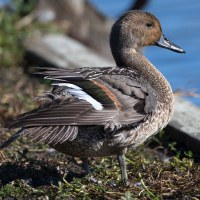 Northern PIntail_3774
