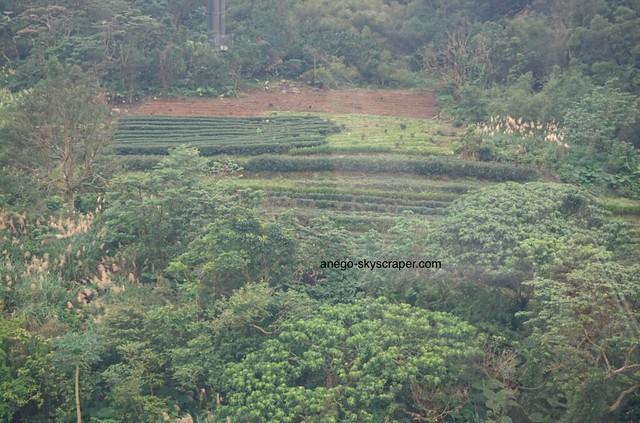 猫空 茶畑