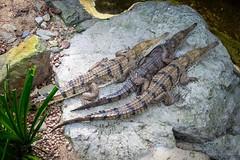 Three friendly crocodiles?
