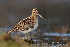Common Snipe | enkelbeckasin | Gallinago gallinago
