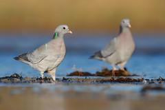 Stock Dove | skogsduva | Columba oenas