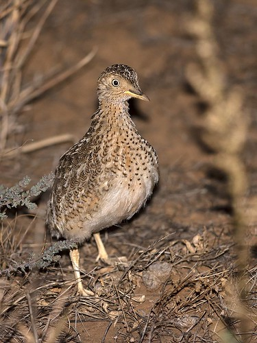 """Plains Wanderer - Northern Victoria, 27/04/19 • <a style=""""font-size:0.8em;"""" href=""""http://www.flickr.com/photos/95790921@N07/40753200453/"""" target=""""_blank"""">View on Flickr</a>"""